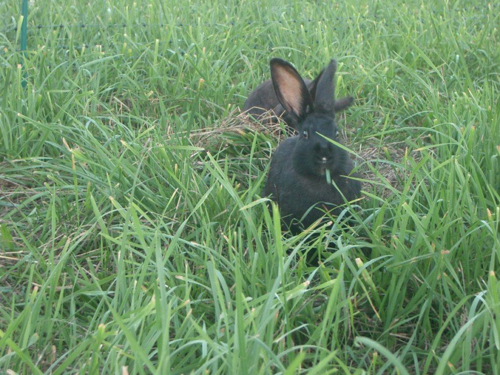 pasture-bunny