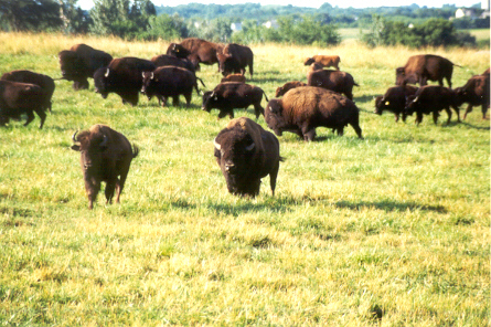 bison_in_the_pasture_2